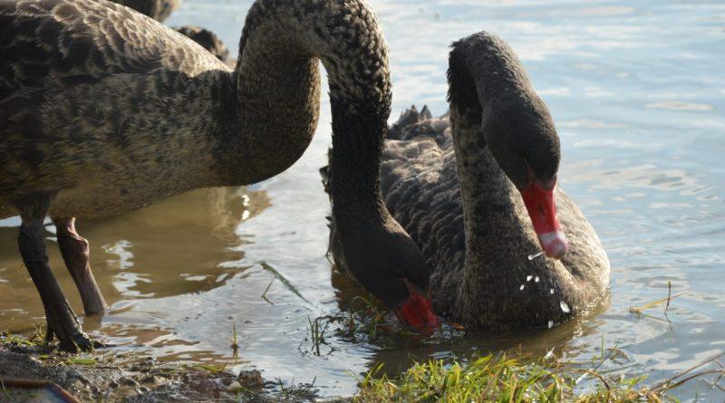 Недавно в Подгорье были замечены черные лебеди