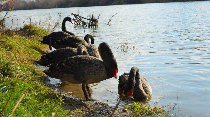 Недавно в Подгорье были замечены черные лебеди 1