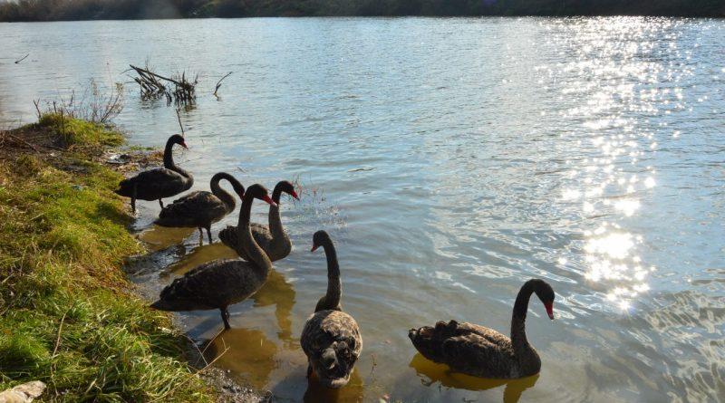 Недавно в Подгорье были замечены черные лебеди 2