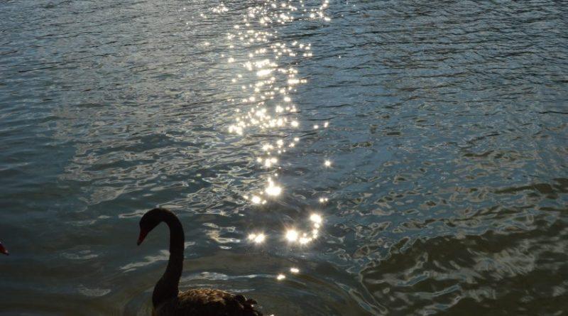 Недавно в Подгорье были замечены черные лебеди 3