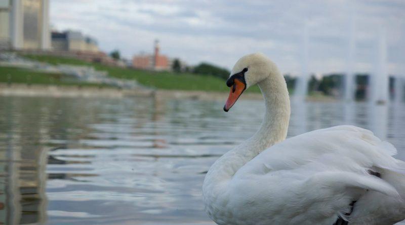 Лебедей в Чебоксарский залив после зимовки выпустят к 1 мая