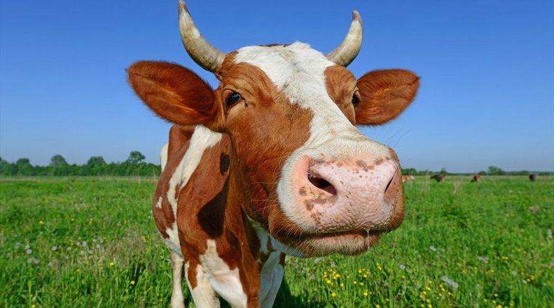Как чувашские власти поддержали коров деньгамиё