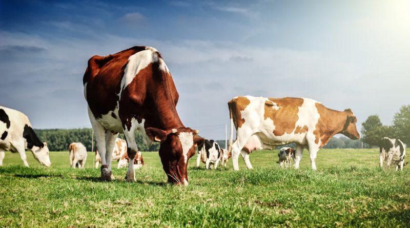 Минсельхоз Чувашии приступил к выплате субсидий гражданам на содержание коров